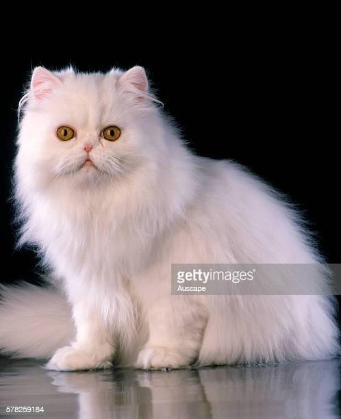 White Persian cat Felis catus studio photograph