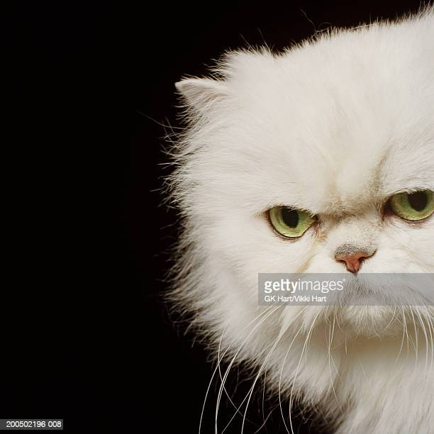 White Persian cat looking annoyed, close-up, portrait