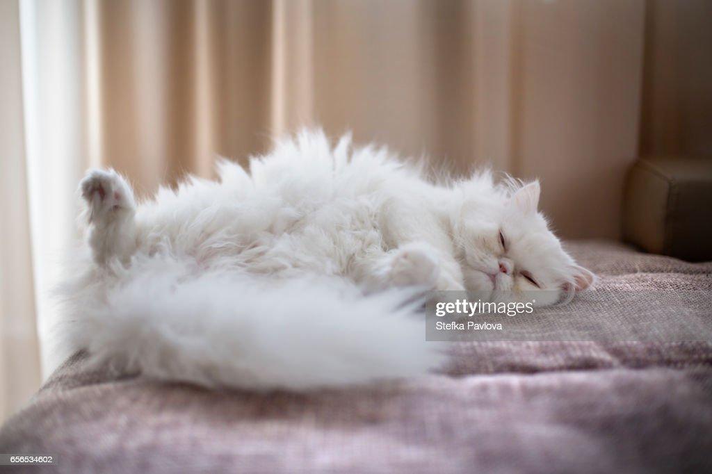 White Persian Cat lying on back : Stock Photo