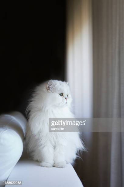 white persian cat - persian cat stock pictures, royalty-free photos & images