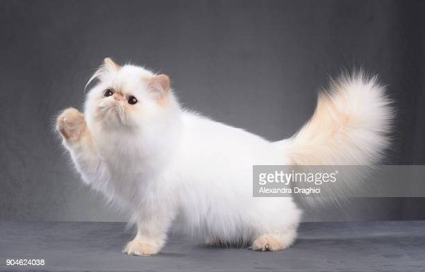 white persian cat - persian stock photos and pictures