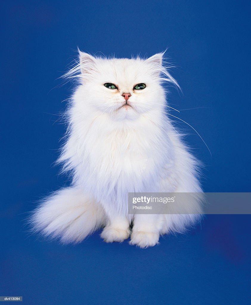 White Persian Cat : Stock Photo