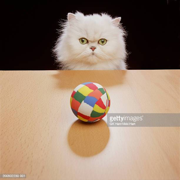 White Persian cat staring at multi-colored toy ball, front view