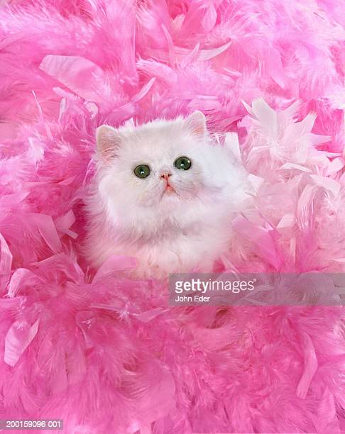 White Persian cat surrounded by pink feathers