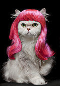 White Persian Cat wearing hot pink wig