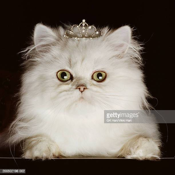 white persian cat wearing tiara, close-up, front view, portrait - crown close up stock pictures, royalty-free photos & images