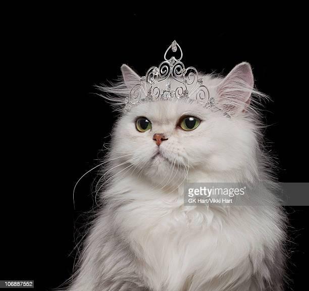white persian cat wearing tiara - tiara stock pictures, royalty-free photos & images