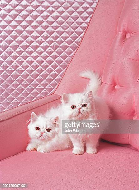 white persian cats on pink sofa - persian stock photos and pictures