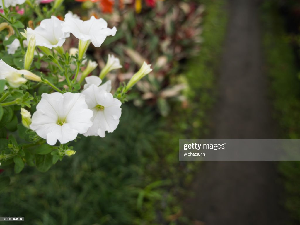White Petunia Flowers Hanging Stock Photo Getty Images