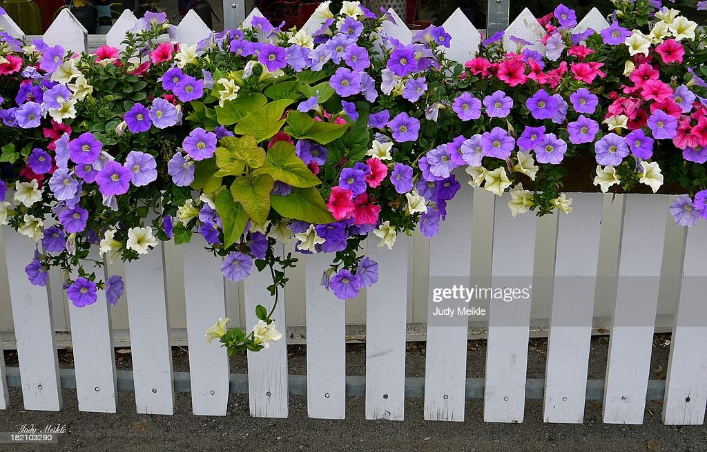 White picket fence with hanging flowers stock photo getty images white picket fence with hanging flowers stock photo mightylinksfo