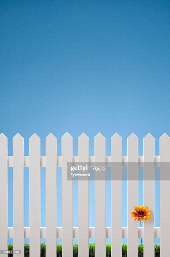 真っ白なペンキ塗りのフェンスに一輪の花 : ストックフォト