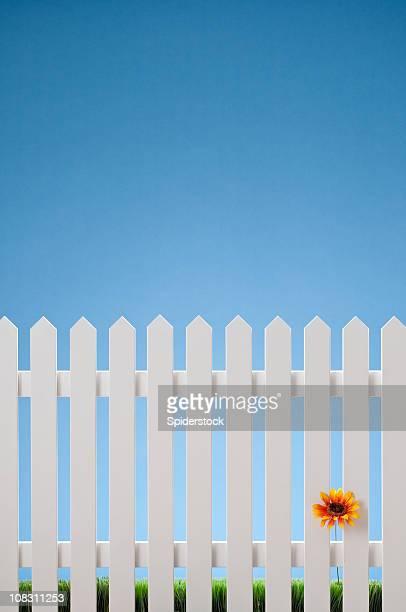 真っ白なペンキ塗りのフェンスに一輪の花 - 杭垣 ストックフォトと画像