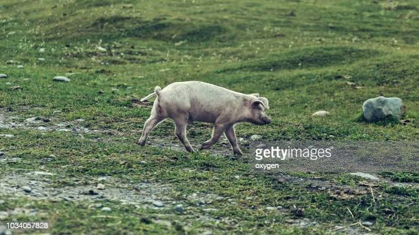 white pig walking through the village - pig in shit stock pictures, royalty-free photos & images
