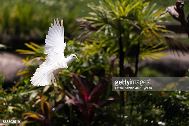 White Pigeon Flying In Mid-Air At Park