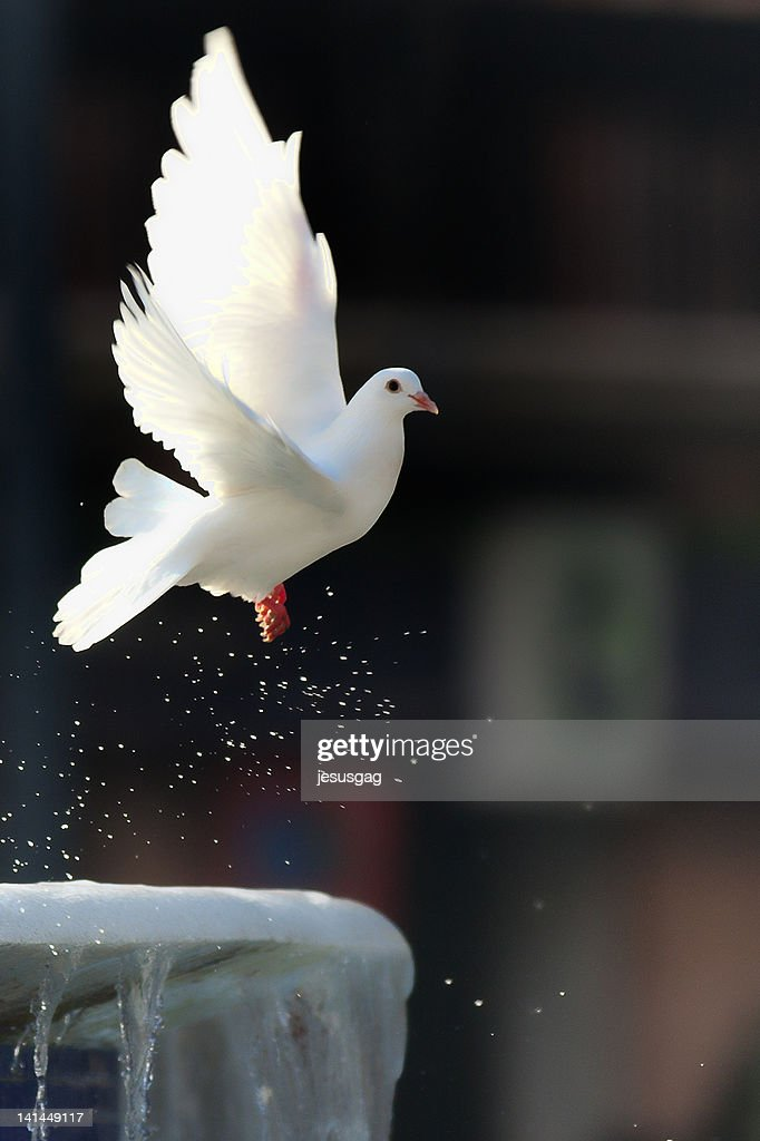 White pigeon flying : Stock Photo