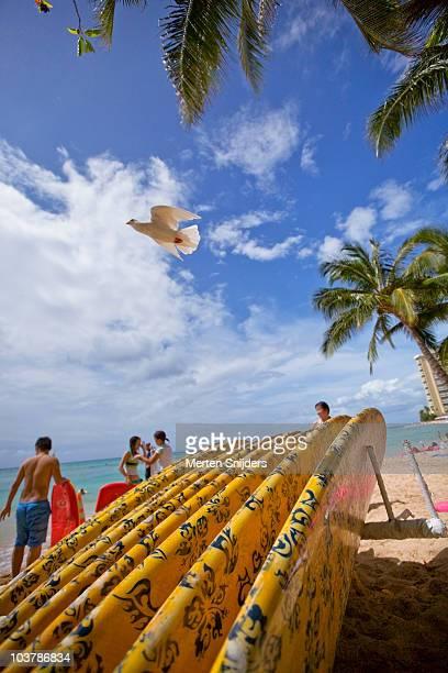 White pigeon lifting off over surfboard rack on Waikiki Beach.