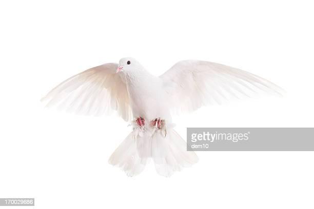 Weiße pigeon
