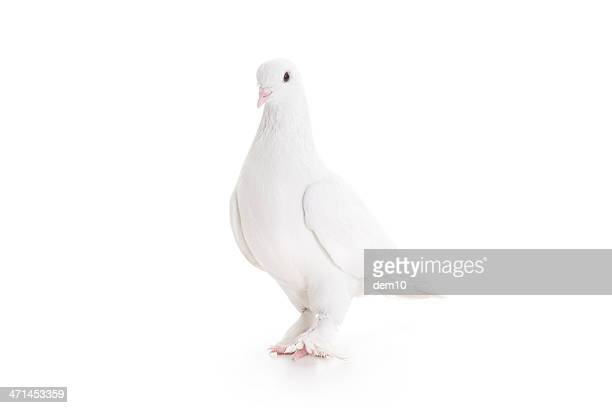 white pigeon - pigeon stock pictures, royalty-free photos & images
