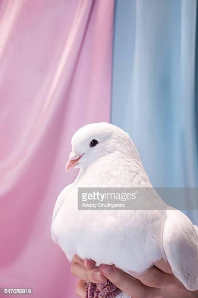white pigeon - human body part stock-fotos und bilder