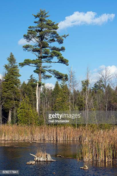 white pine at the pond - eastern white pine stock pictures, royalty-free photos & images