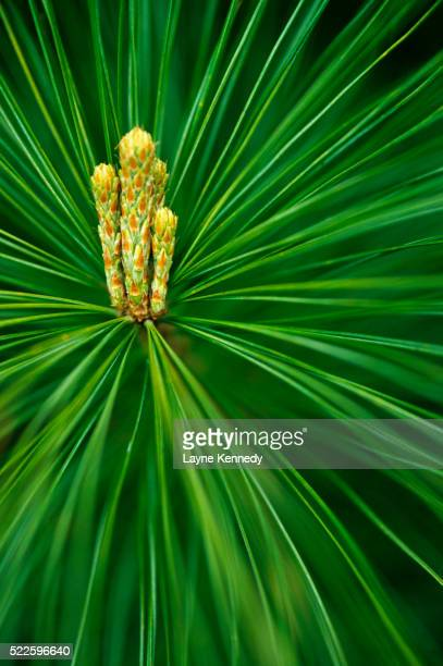 white pine budding - eastern white pine stock pictures, royalty-free photos & images