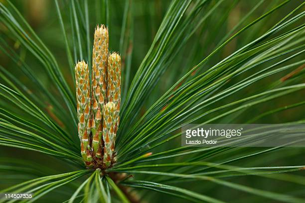 white pine - eastern white pine stock pictures, royalty-free photos & images