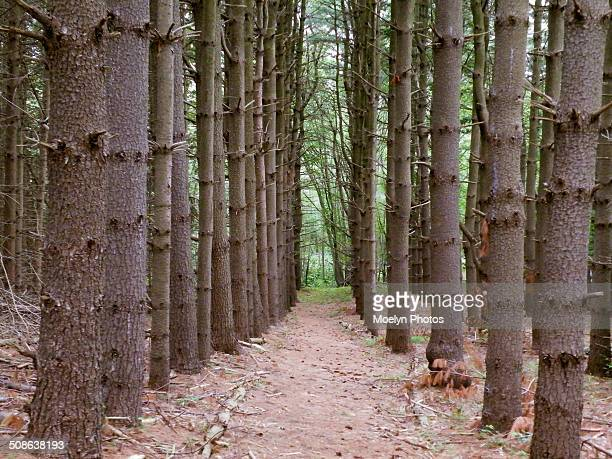 white pine plantation - eastern white pine stock pictures, royalty-free photos & images