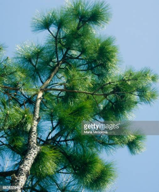 white pine reaching out - eastern white pine stock pictures, royalty-free photos & images
