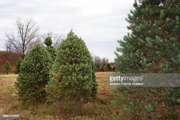 White Pine trees on the Taylor Tree Farm