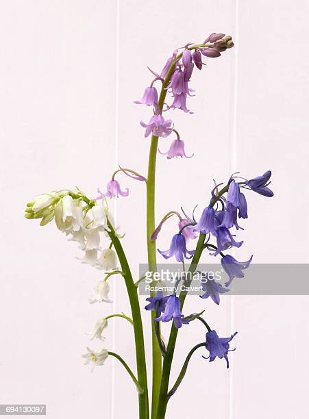 white, pink and blue bluebells on white. - bluebell stock pictures, royalty-free photos & images