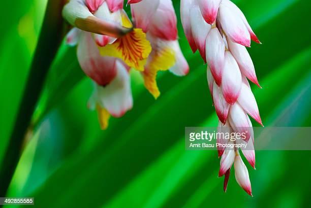 white pink torch ginger flower lily. - fiore di zenzero foto e immagini stock