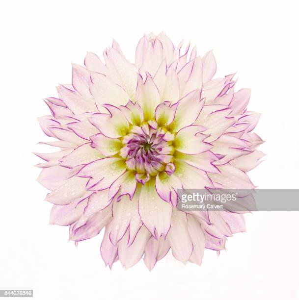 White, pink & yellow Dahlia 'Crazy Love' on white.