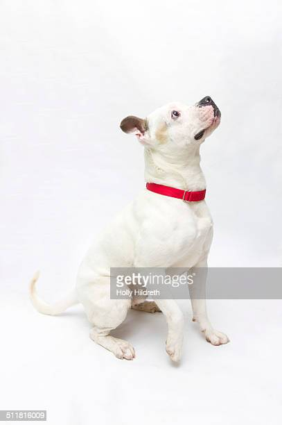 white pitbull - collar stock pictures, royalty-free photos & images