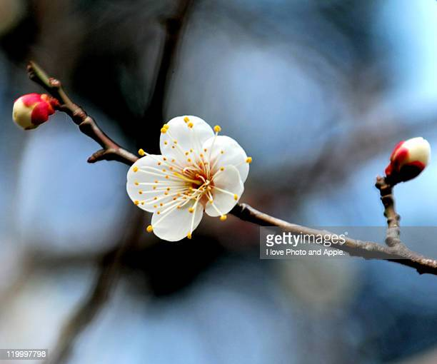 Plum blossom stock photos and pictures getty images white plum blossoms mightylinksfo Choice Image