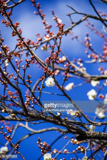white plum blossoms - 一月 ストックフォトと画像