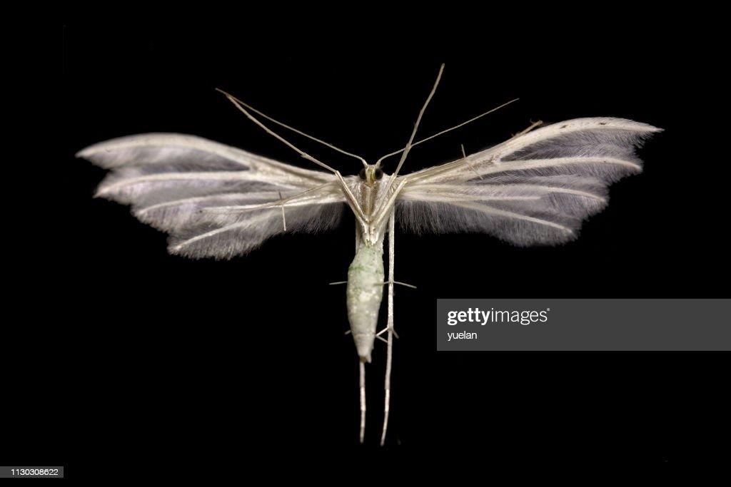 White Plume moth (Pterophorus pentadactyla) : Stock Photo