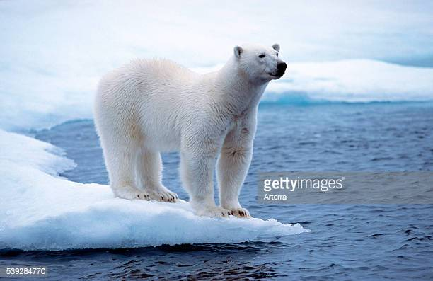 White Polar bear on pack ice floating in the Arctic ocean on the North Pole near Svalbard Spitsbergen Norway