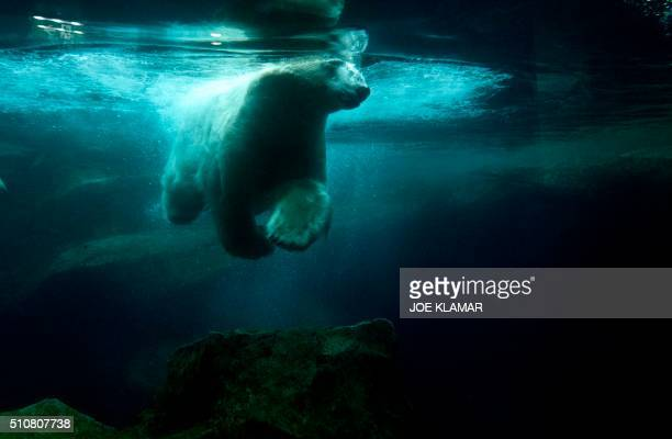 A white Polar dives in his pool at the Schoenbrunn Zoo in Vienna Austria on February 16 2016 Vienna Zoo located on the grounds of the famous...