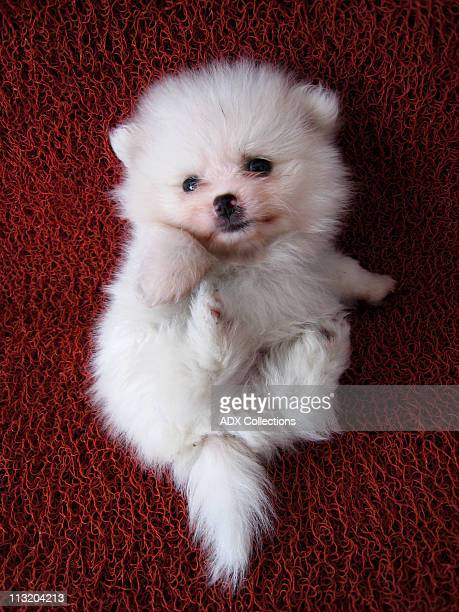 white pomeranian puppy - pomeranian stock photos and pictures