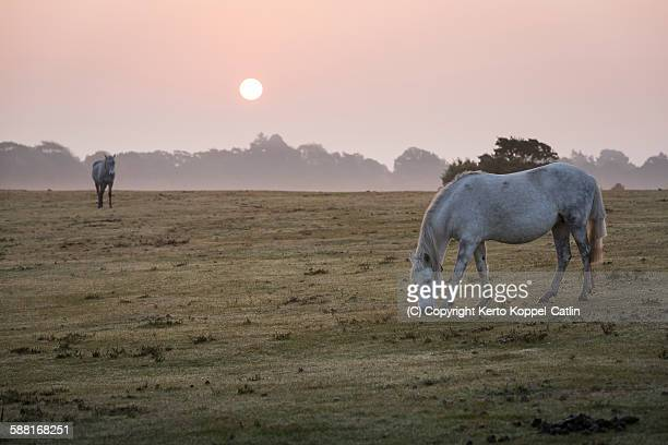 White ponies eating horses at misty sunrise field