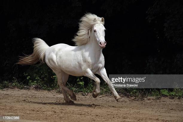 White pony galloping
