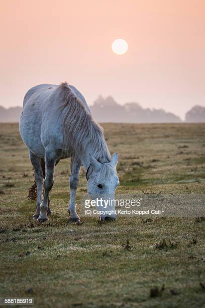 White pony horse feeding at misty sunrise landsca