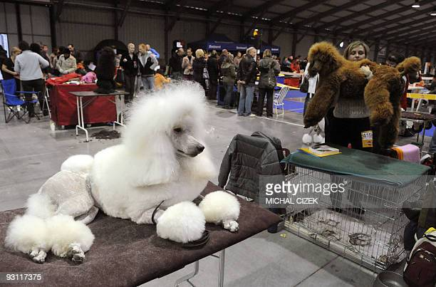 A white poodle rests during the XVIIIth International Dog exhibition on November 8 2009 in Prague AFP PHOTO/ MICHAL CIZEK