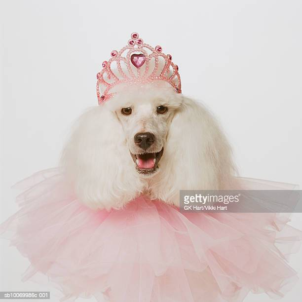 white poodle wearing pink tiara and pink ruffle, close-up - crown close up stock pictures, royalty-free photos & images
