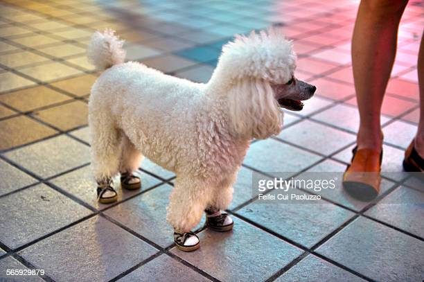 A white Poodle with modern shoes at night Beijing