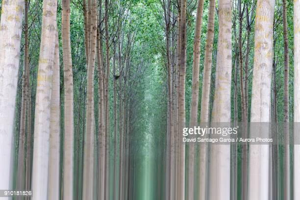White poplar forest of Villafafila Natural Park, Zamora, Spain
