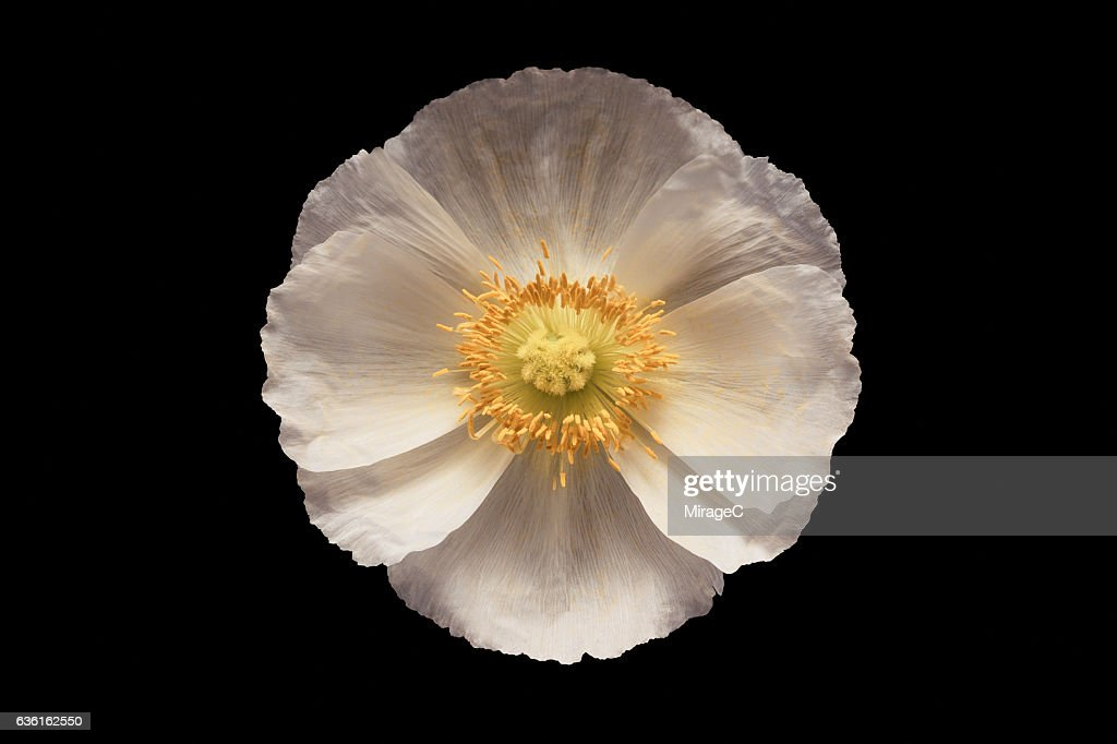 White poppy flower black background stock photo getty images white poppy flower black background stock photo mightylinksfo