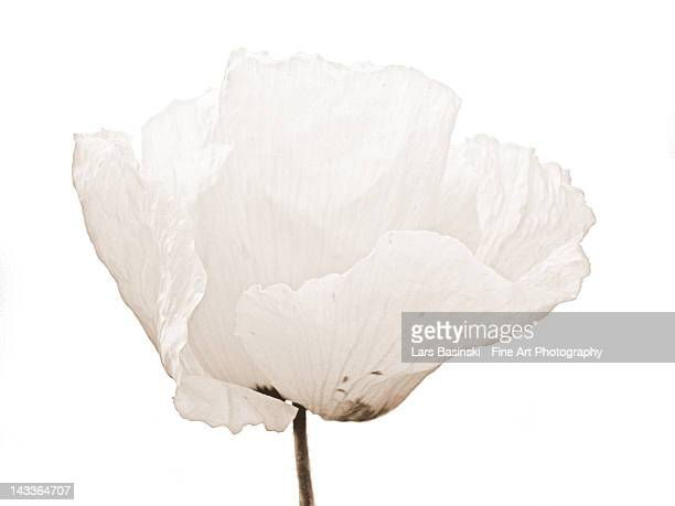 white poppy - poppies stock photos and pictures