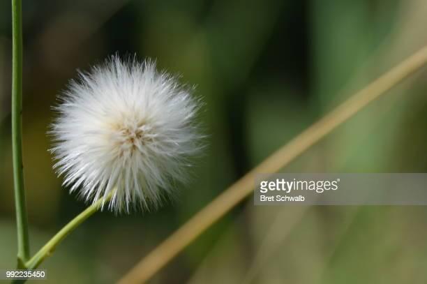 White Puffball