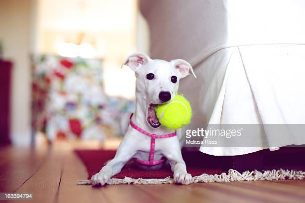 White puppy holding tennis ball in mouth